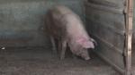 Вече действат железни правила за отглеждане на прасета